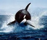 Romney's Project Orca: A Whale Of A Failure?